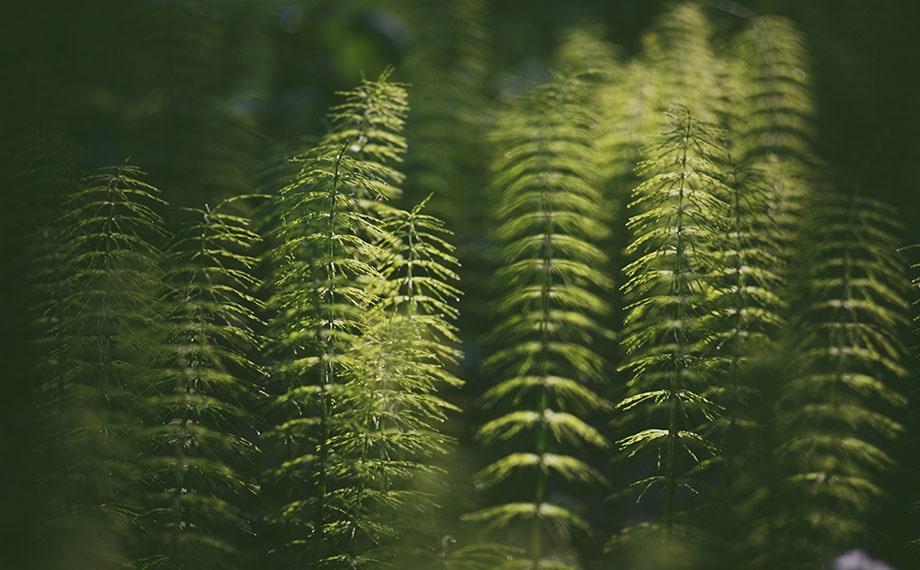 Хвощ полевой: описание, польза и побочные эффекты